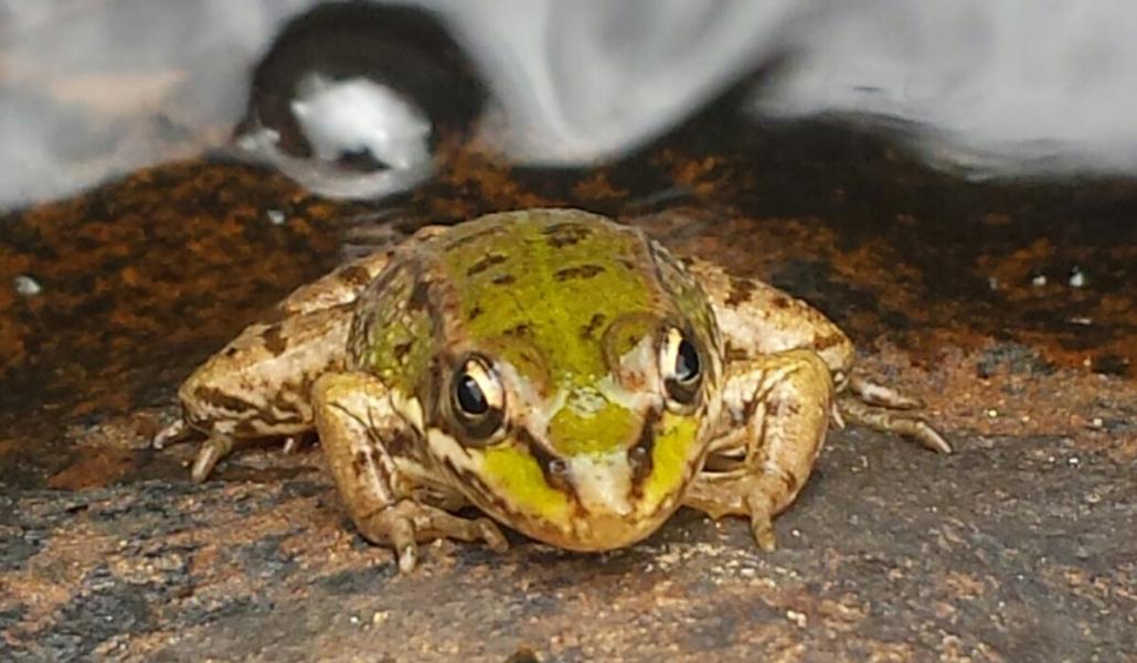 las ranas comestibles europeas: Especie Pelophilax